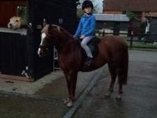Stunning Welsh Part Bred Mare First Ridden Prospect