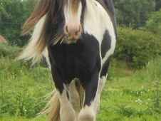 Tumapima- Two Year Old Gypsy Coloured Cob