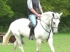 Hunters horse - 7 yrs 16.2 hh Grey - Dorset
