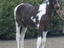 Young Stock  horse - 1 yr 16.2 hh Coloured - South Glamorgan