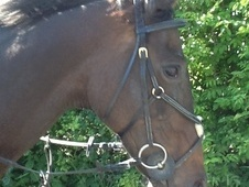 All Rounder horse - 14 yrs 16.2 hh Dark Bay - North Yorkshire