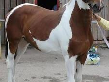 Beautiful coloured 15.3hh