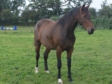 All Rounder horse - 4 yrs 10 mths 16.3 hh Bay - Somerset