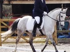 All Rounder horse - 9 yrs 6 mths 13.3 hh Grey - South Yorkshire