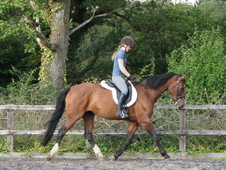 16. 3hh Stunning Westfalian Mare For Sale. Dressage/all Rounder