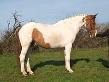 All Rounder horse - 7 yrs 4 mths 17.0 hh Coloured - Kent