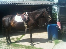 All Rounder horse - 9 yrs 4 mths 16.0 hh Dark Bay - Kent