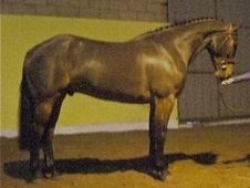 Show Jumpers horse - 6 yrs 4 mths 16.1 hh Bay - Kent