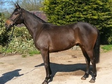 All Rounder horse - 5 yrs 3 mths 16.1 hh Brown - Leicestershire