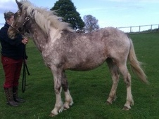 Young Stock  horse - 2 yrs 14.2 hh Appaloosa - North Yorkshire