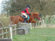 14hh Pony William