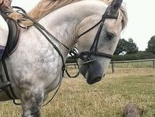 15h Dapple Grey Cob £1800