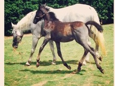 Registered Lippizaner With Fully Bred Lippizaner Filly