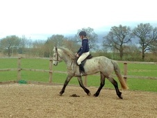 All Rounder horse - 6 yrs 11 mths 14.2 hh Dapple Grey - Worcester...
