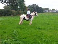 Bombproof 14hh Cob Suitable For Rda