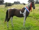 Stallions at Stud horse - 4 yrs 15.0 hh Coloured - West Midlands
