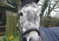 Show Jumpers horse - 4 yrs 16.0 hh Dapple Grey - Kent