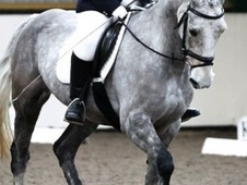 All Rounder horse - 10 yrs 16.0 hh Grey - Essex