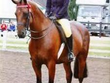 15. 2hh Top Class Allrounder 7 Yrs In Kent