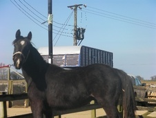Young Stock  horse - 1 yr 16.0 hh Dark Bay - Lincolnshire