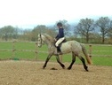 All Rounder horse - 6 yrs 11 mths 14.2 hh Dapple Grey - Worcestershire