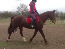 All Rounder horse - 15 yrs 15.2 hh Chestnut - Lincolnshire