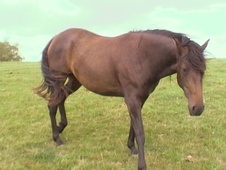 All Rounder horse - 5 yrs 15.2 hh Bay - Wiltshire
