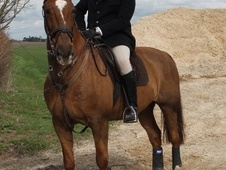 Showing horse - 15 yrs 16.0 hh Chestnut - Lincolnshire