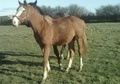 Young Stock  horse - 2 yrs 16.0 hh Chestnut - North Humberside