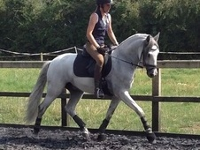 Talented Young Dressage Prospect Or Good All Rounder