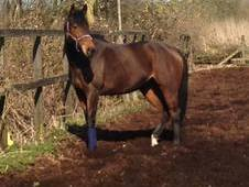 16. 1 8 year old TB Mare for sale Essex
