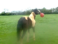 Potential young sports horses horse - 2 yrs 11 mths 14.2 hh Pieba...