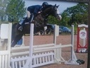 Show Jumpers horse - 5 yrs 16.1 hh Grey - Lincolnshire