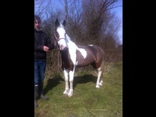 All Rounder horse - 8 yrs 13.0 hh Skewbald - Essex