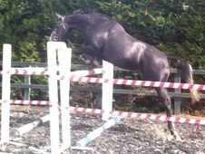 Talented 5 yr old Mare