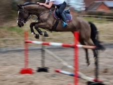 ***BARGAIN DRESSAGE/SHOWJUMPER FOR SALE***