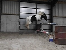 Coloured horse - 2 yrs 2 mths 13.1 hh Piebald - Caithness