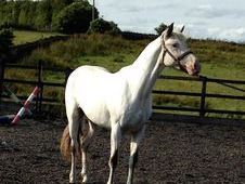 Registered Appaloosa Few Spot Filly Rising 4 Years