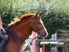 All Rounder horse - 13 yrs 16.3 hh Chestnut - Berkshire