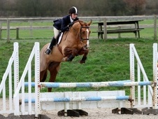 Show Jumpers horse - 5 yrs 16.1 hh Liver Chestnut - East Sussex