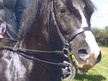 All Rounder horse - 10 yrs 3 mths 13.2 hh Black - Clwyd