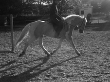 All Rounder horse - 5 yrs 15.2 hh Lemon & White - Wiltshire
