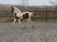 Florence A 16hh (to Make) Yearling Filly