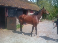 Eventers horse - 6 yrs 1 mth 15.2 hh Bay - East Sussex