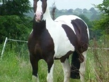 15hh Tri-coloured Mare With Coloured Colt At Foot To Make 16hh+