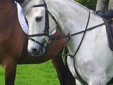 All Rounder horse - 11 yrs 14.2 hh Dapple Grey - Suffolk