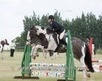 Cobs horse - 6 yrs 15.3 hh Tri-Coloured - Kent