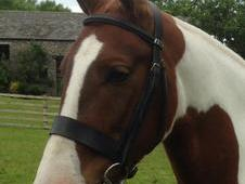Stunning Coloured Gelding 15. 1hh