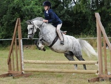 Other horse - 10 yrs 12.3 hh Grey - Essex