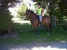 Pony Club Ponies horse - 6 yrs 13.2 hh Dark Bay - Dyfed
